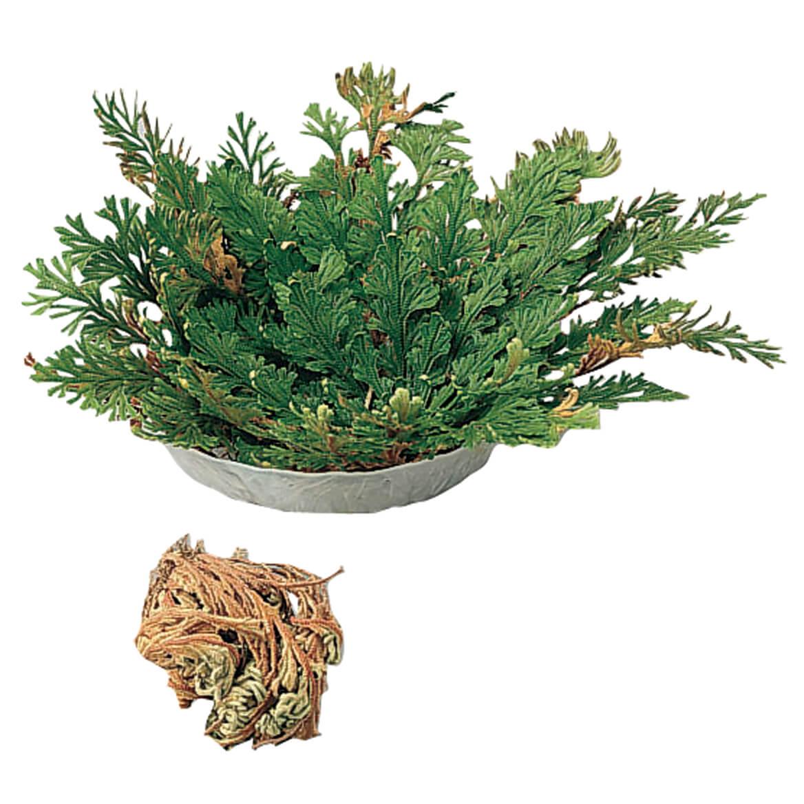Resurrection Plant™-320978