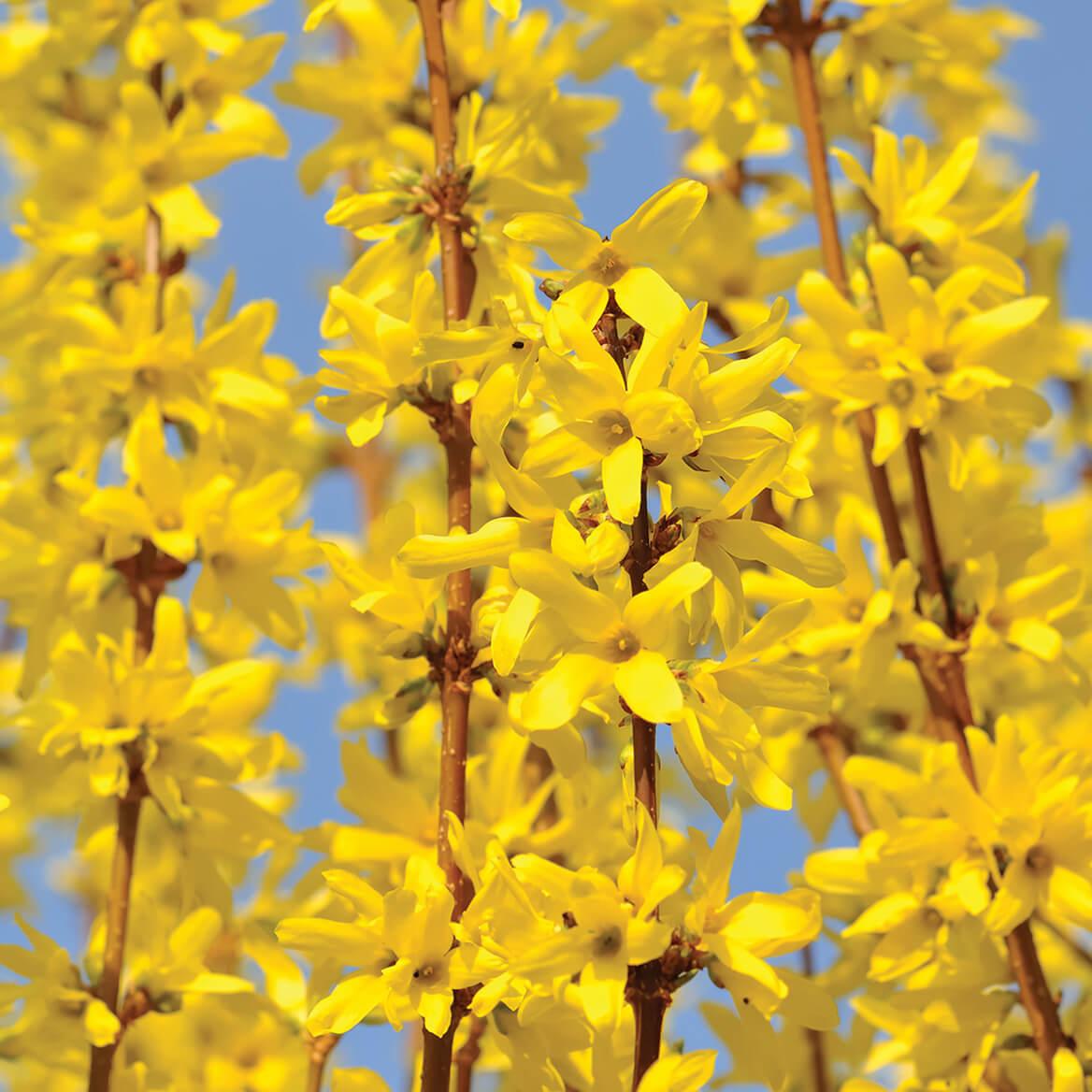 Forsythia Lynwood Gold-372602